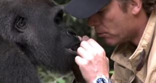 Мъж се завръща при горилата , която е отглеждал в продължение на 5 години! Реакцията на горилата ще ви ШОКИРА!!!