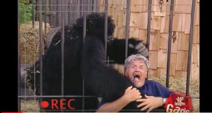 горила напада човек